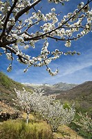 Spring landscape in the Jerte Valley  Farms with cherry blossoms, Sierra de Barco  Sierra de Gredos, in the province of Cáceres, Extremadura, Spain