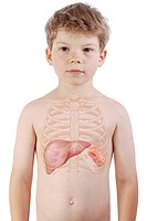 Representation in a 6_year_old child silhouette of the rib cage and the location of the liver and spleen, organs of recycling for the blood red corspu...