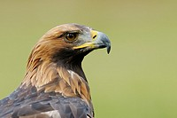 Golden eagle, Aquila chrysaetos, Germany