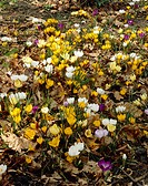 Crocus botanical mixed