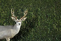 Deer in front of hedge (thumbnail)