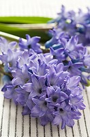 Hyacinth flowers