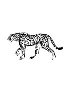 Walking Leopard, Black Ink Illustration