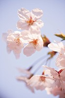 Cherry flowers, close up, blue background