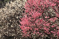 Plum trees, close up, Tokyo prefecture, Japan