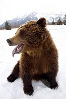 CAPTIVE Brown bear resting in snow at the Alaska Wildlife Conservation Center, Southcentral Alaska, Winter