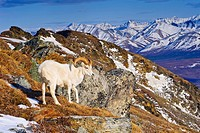 An adult Dall sheep ram standing on Mount Margrett with the Alaska Range in the background, Denali National Park, Alaska, Spring