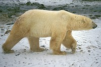Arctic, animals, bear