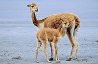 Vicuna Vicugna vicugna, Altiplano, Chile  mother with calf Vicuna are living in the cold Altiplano of the Andes Mountains  Their wool is one of the fi...