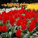 Tulipa Casa Grande