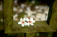 Taiwan, Miaoli County, Gong_Gwan, Tung Blossom, Paulownia, Tung Flower