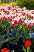 Scilla siberica, Tulipa Ancilla