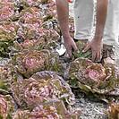Harvesting butterhead lettuce