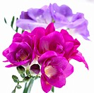 Bright White serie: Freesia purple