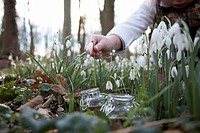 Child picking snowdrops