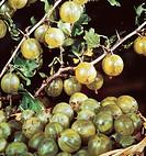 Ribes uva_crispa Pixwell