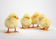 Four yellow chicks