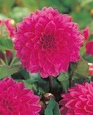 Dahlia decorative Shannon