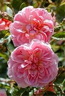Rosa english Anna Boleyn