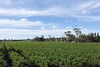 Vines in Vineyard, New South Wales, Australia