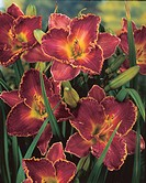 Hemerocallis David Kirchhoff