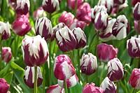 Tulipa triumph RembrandtÂ_s Favourite + Shirley