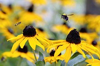 honey bee Apis mellifera flying to black_eyed susan, close_up