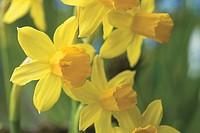 Narcissus cyclamineus Tête_à_Tête
