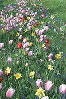 Tulipa + Narcissus + Muscari