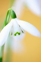 Droopy Galanthus Snowdrop Early Spring-fine art photography © Jane-Ann Butler Photography JABP331 RIGHTS MANAGED