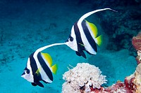 a pair of longfinned bannerfish swimming together