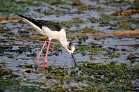 Black-winged Stilt (Himantopus himantopus) at the shore of Agia lake, Crete, Greece