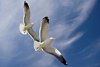 Flying Lesser black_backed gull, Larus fuscus, Texel Island, The Netherlands, Europe