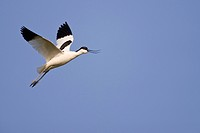 Flying Pied Avocet, Recurvirostra avosetta, Texel Island, The Netherlands, Europe