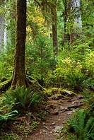 Hall of Mosses Trail, Hoh Rain Forest, Olympic National Park, Washington, USA