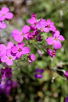 botany Aubriet Aubrieta Large flowered Aubrieta blossoms purple blooming flowering Cruciferae Brassiaceae hybrid