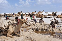 Ethiopia, Afar region, Asale salt lake, Salt cutting and loading  Salt is shaped by expert Afar cutters called Hadalimera in rectangular blocks that w...