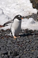 Gentoo penguin at Brown Bluff, Antarctic Peninsula, Antarctica, Polar Regions