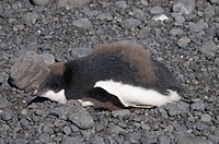 Gentoo penguin moulting at Brown Bluff, Antarctic Peninsula, Antarctica, Polar Regions