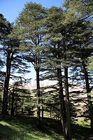 The Cedar Trees of Bcharre, Qadisha Valley Holy Valley, UNESCO World Heritage Site, Lebanon, Middle East