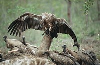 Whitebacked Vultures, Gyps africanus and Cape Vultures, Gyps coprotheres at kill, South Africa