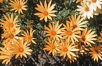 Namaqualand daisies, Namaqualand, Northern Cape Province, South Africa