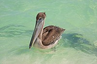 Pelican swimming in the Green Waters