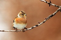 Brambling (Fringilla montifringilla) on almond tree in winter. Vaucluse, France