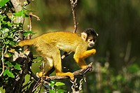 Black-capped Squirrel Monkey (Saimiri boliviensis), African Reserve of Sigean, France