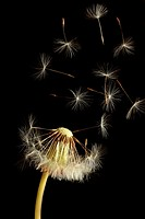 Dandelion clock