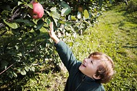 Young boy reaching for apple in orchard, King Township, Ontario