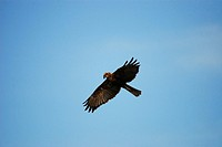 Marsh Harrier (Circus aeroginosus), Crete