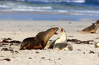 Australian Sea Lion,Neophoca cinerea,Kangaroo Island,Australia,group of male and female with young at beach