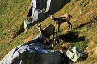 10870001, Alps, alpine, fauna, Alpine fauna, alpine Chamois, mountains, mountain fauna, mountain world, Bern, Bernese Oberland, Chamois, family, fauna...